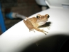 Koh Lipe -  Bathroom frog. yes he\'s on the toilet seat